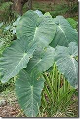 Taro planta